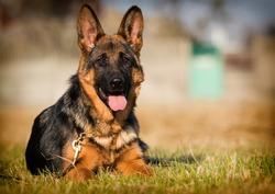 German shepherd puppy age 5 months in the grass