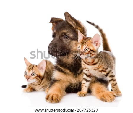 german shepherd puppy and two bengal kittens looking away. isolated on white background #207725329