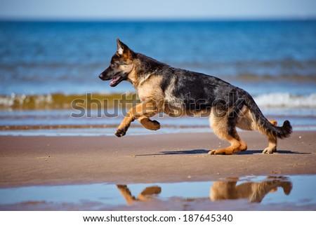 german shepherd puppy at the sea