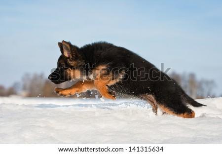 German shepherd puppy at winter running