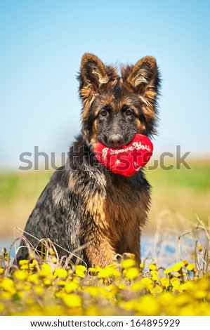 German shepherd puppy holding toy heart in his mouth