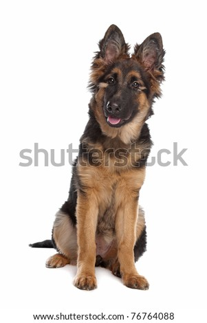 German Shepherd puppy in front of a white background