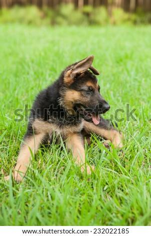 German Shepherd puppy laughs in the grass