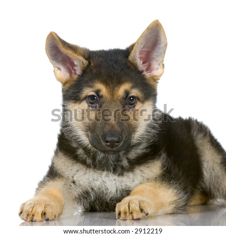 Puppies on German Shepherd Puppy Lying Down In Front Of White Background Stock