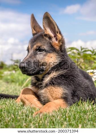 German shepherd puppy lying down in the grass