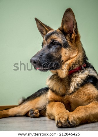 German Shepherd puppy lying down on the floor
