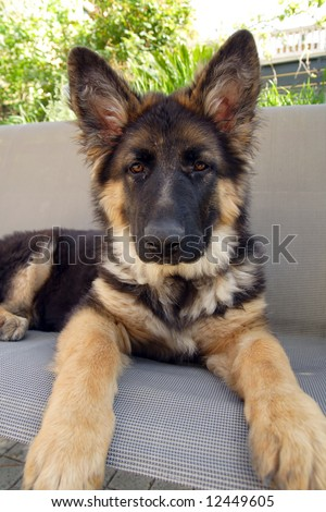 German shepherd puppy 4 months old