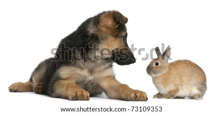 German Shepherd puppy, 4 months old, and a rabbit in front of white background