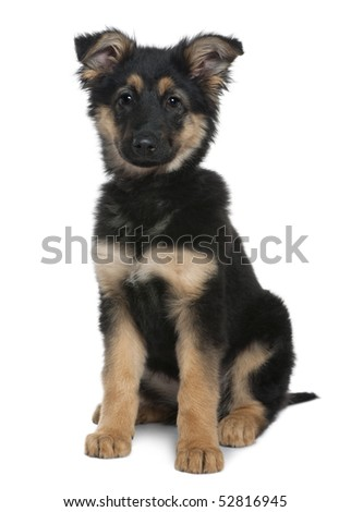 German Shepherd puppy, 3 months old, sitting in front of white ...