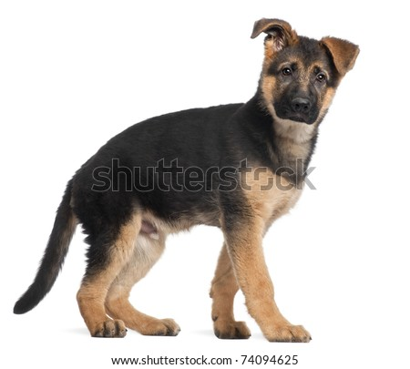 Puppies on Stock Photo   German Shepherd Puppy  3 Months Old  Standing In Front