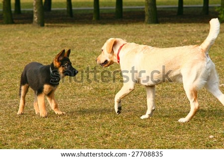 golden retriever puppy playing. shepherd puppy playing