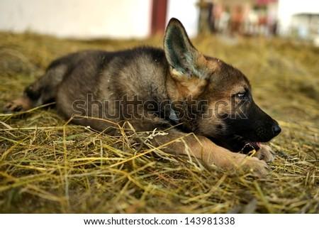 German shepherd puppy relaxing on a warm summer day