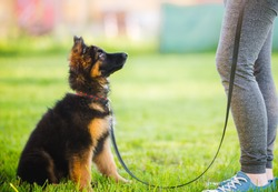 German shepherd puppy sitting and training with the owner