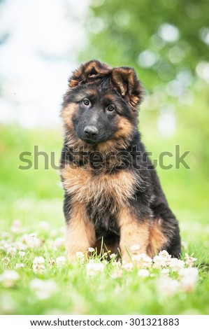 German shepherd puppy sitting on the lawn