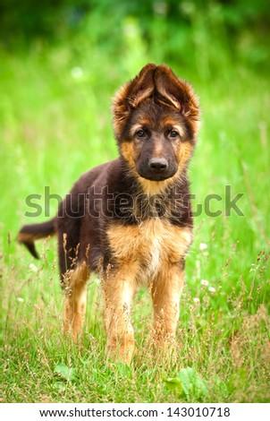 German shepherd puppy standing