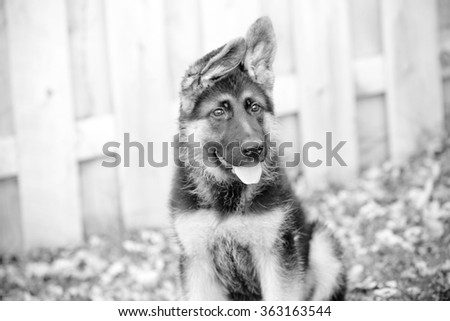 German Shepherd Puppy - This is a black and white image of an adorable german shepherd puppy with floppy ears. Shot with a shallow depth of field.