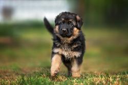 german shepherd puppy walking in summer