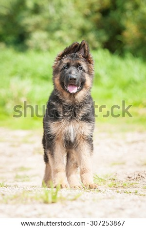 German shepherd puppy walking outdoors in summer