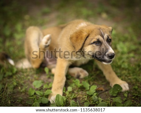 german shepherd puppy with fleas itch scratch himself summer photo