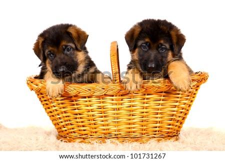 German shepherd`s dog puppys isolated on the white background
