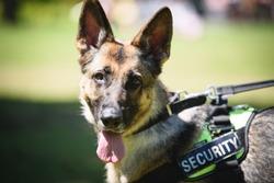 German shepherd Security Dog in Training