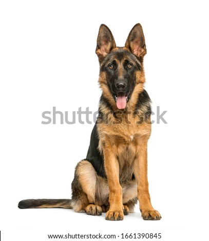 German shepherd sitting and panting, isolated on white Сток-фото ©