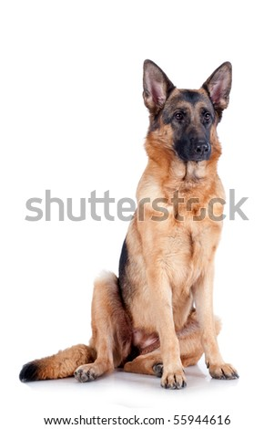 German Shepherd sitting in front, isolated on white background, studio shot.