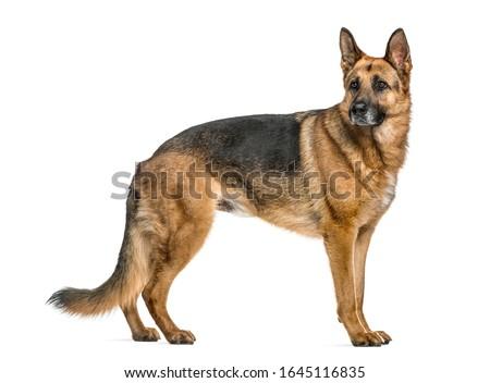 German Shepherd standing, isolated on white Photo stock ©