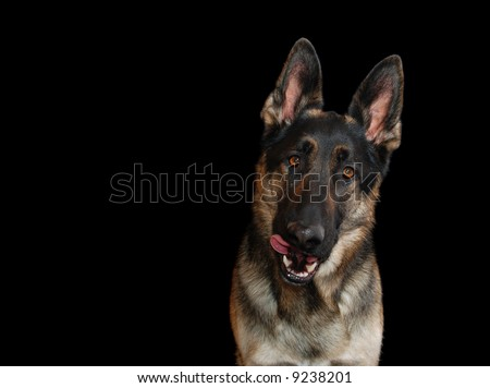 German shepherd sticking out his tongue, on black background,