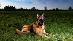 German Shepherd strobist outdoor shot