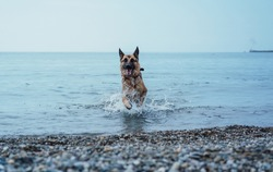 German shepherd swims in the sea, dog plays with a toy on the beach