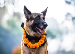 German shepherd with a marigold garland being worshiped during Kukur Tihar (dog Deepawali) in Kathmandu, Nepal