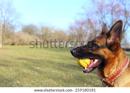 German Shepherd with a toy on the grass, German Shepherd, German Shepherd, German Shepherd on the grass, dog in the park