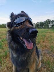 German shepherd with dog glasses looking happy