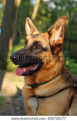 German Shepherd, young German Shepherd, dog in the park, bodyguard,
