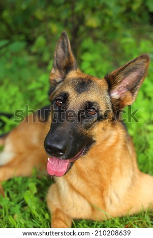German Shepherd, young German Shepherd, German Shepherd on the grass, the dog
