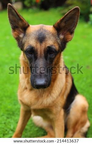 German Shepherd, young German Shepherd, German Shepherd portrait, the dog
