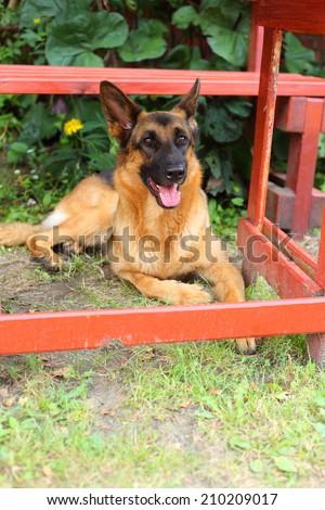German Shepherd, young German Shepherd, the dog