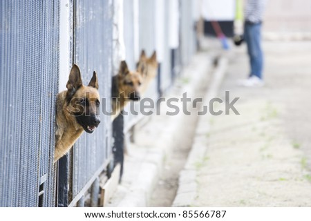 German shepherds in kennel
