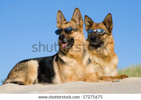 German shepherds laying in sun glasses on sand