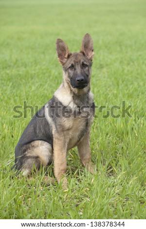 German Shepherds puppy sitting on green grass