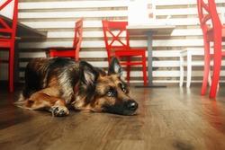 German shephered dog at the restauran.