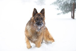 German shephered dog in the snow