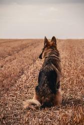 German Shephered lonely in a Field