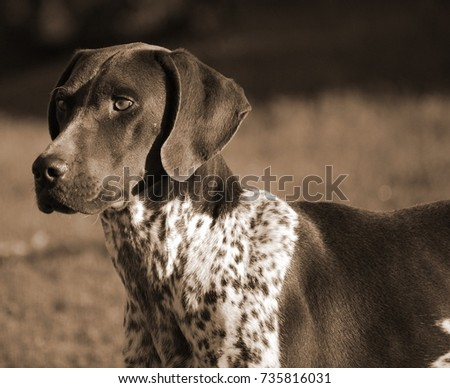 german short-haired pointer dog #735816031