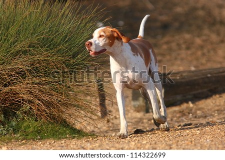 German Short Haired Pointer dog, running free of the lead looking for his owner.