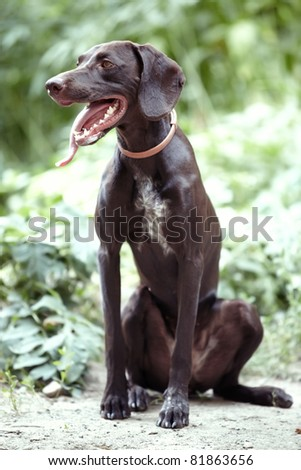 German short-haired pointer laying outdoors. Natural light and colors