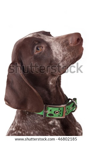 German short-haired pointer on white a background