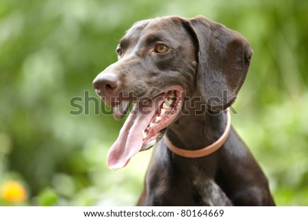 German short-haired pointer outdoors. Natural light and colors