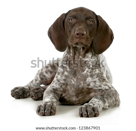 german short haired pointer puppy laying down on white background - 10 weeks old #123867901